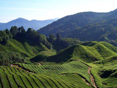 Tea_estate_Cameron_Highlands_Malaysia_lg